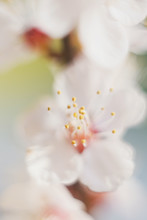 Close Up Of Blossom Apricot Tree. Yellow Stamens In White Flower