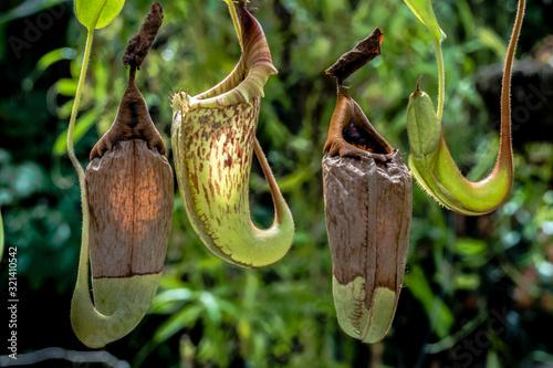 Tableau sur Toile Carnivorous Pitcher plants waiting for a prey.