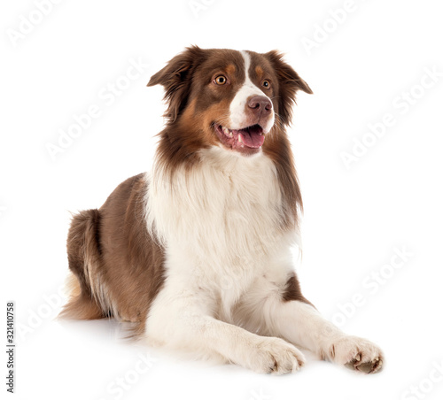Fototapety, obrazy: australian shepherd dog