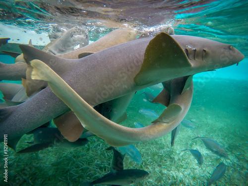 Photo requin nourrice au bélize