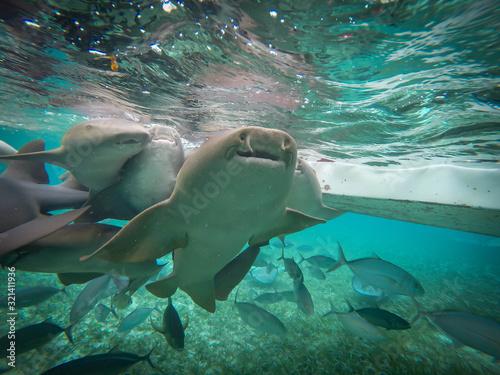 Fototapeta requins-nourrices en bélize
