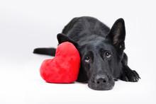 Czarny Owczarek Niemiecki Z Czerwonym Pluszowym Sercem Na Białym Tle, Walentynki