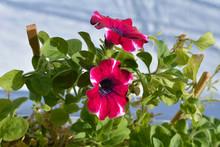 Beautiful Petunia Blooms In Sm...