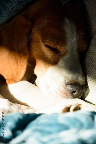 Beagle dog sleeping at bed in bright interior. Pet at home concept © Przemyslaw Iciak