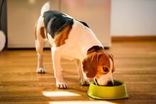 Dog Beagle Eating Canned Food ...