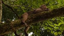 Monkey Eating A Cracker On A T...