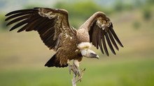 Griffon Vulture, Gyps Fulvus, ...