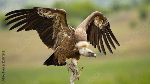 Griffon vulture, gyps fulvus, landing on a perch with wings spread in summer Canvas Print