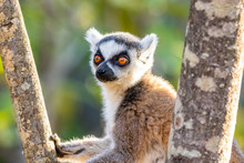 Ring Tailed Lemur Relaxing In ...