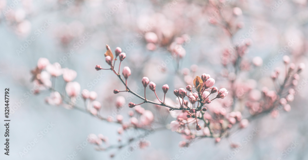 Fototapeta Closeup of spring pastel blooming flower in orchard. Macro cherry blossom tree branch.