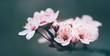 Leinwandbild Motiv Closeup of spring blossom flower on dark bokeh background. Macro cherry blossom tree branch.