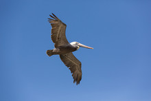 Flying American Pelican In Fro...