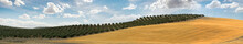 Panoramic Image Of Olive Plant...