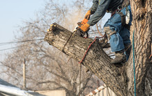 Professional Arborist With A C...