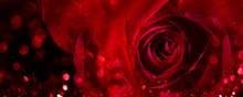 Closeup Of Valentine Red Rose On Dark Background. Valentine's Day Flower Bouquet