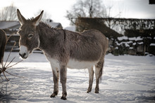 Little Donkey In The Snow At S...