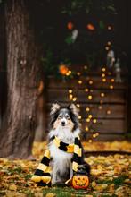 Halloween. Portrait Of Shetland Shepherd Dog.