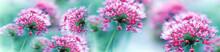 Różowe Kwiaty Czosnku
