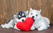 Two playful siberian husky puppies lie with red heart
