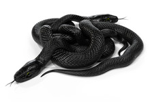 Two Black Snakes In A Knot Iso...