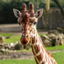 Portrait Of A Giraffe, Giraffa...