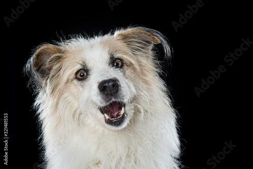 Obraz Cute mixed breed dog on black background snaps a tasty - fototapety do salonu