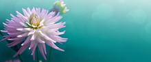 White Dahlia Isolated On Blur ...