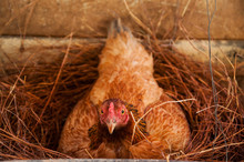 Chicken Hatching In Nest