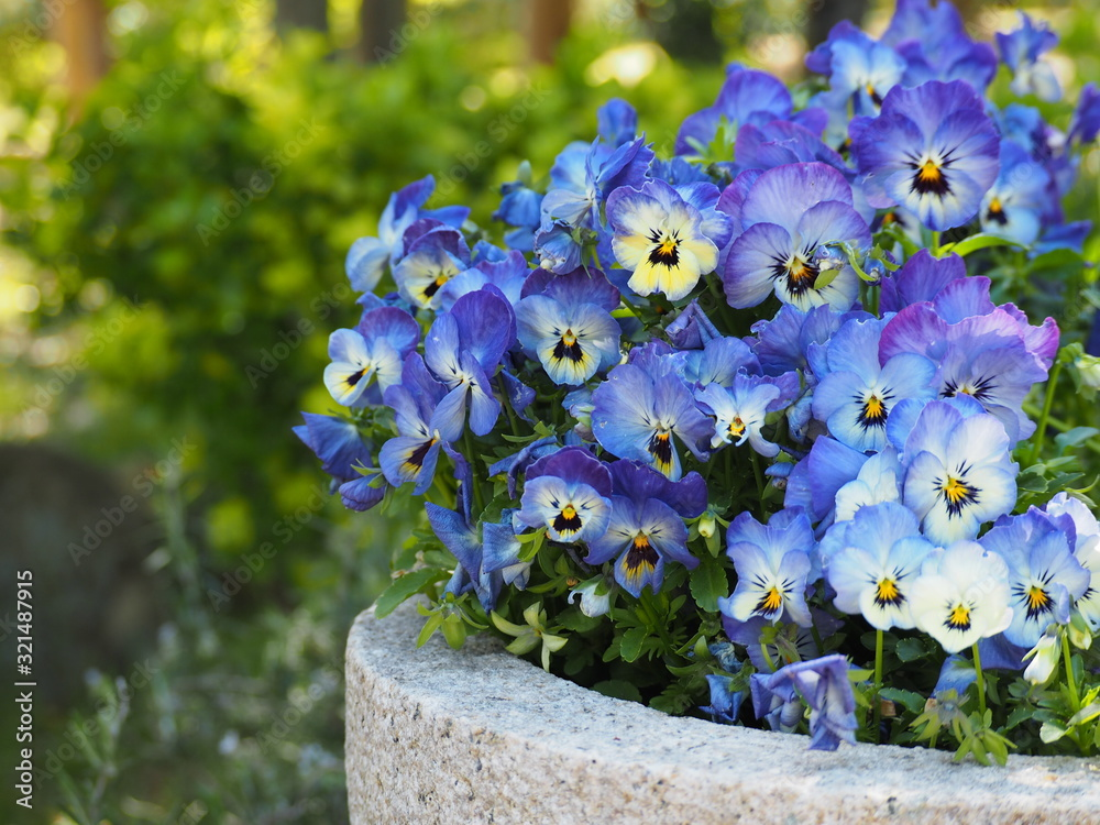 Fototapeta 青い満開のパンジーの花