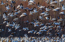 Snow Geese Flock Flying Over A...
