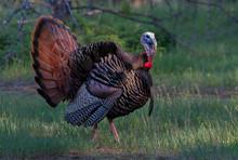Eastern Wild Turkey Male (Mele...