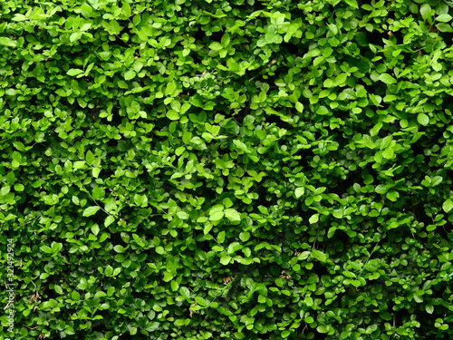 green ivy bush wall in garden