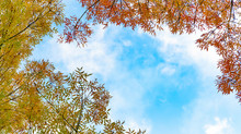 A Low-angle Shot Of Branches With Red Leaves And Yellow Leaves On A Sunny Day; Colorful Autumn Against Blue Sky And White Clouds