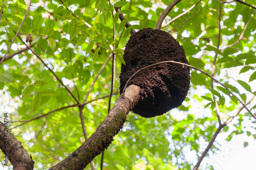 An arboreal termite nest, Dominican Republic Canvas Print