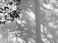 Silhouette Branch Tree With Shadow Leaf On White Wall Background