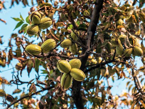 Fotografie, Obraz pecans nut on the tree