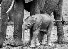 Tiny New Born Elephant Calf St...