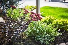 Sedum In A Decorative Garden N...