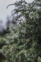 Juniper Bush Covered With Dew ...
