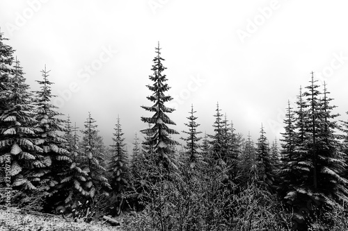 Dramatic black and white photo of snow on evergreen trees