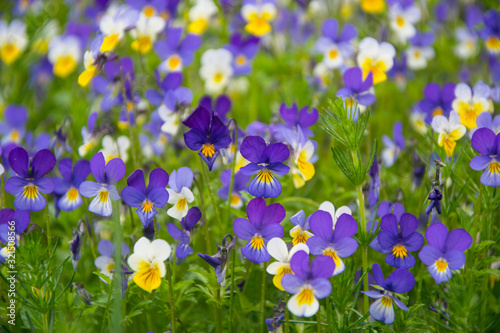 Large group of violet flowers in green meadow