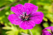 canvas print picture - Geranium 'Anne Thomson' a magenta pink herbaceous springtime summer flower plant commonly known as cranesbill