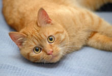 Domestic Red Cat Lies On A Gra...