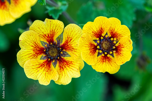 Potentilla 'Esta Ann' a yellow red flowered plant commonly known as cinquefoil Fototapeta