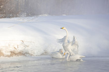 Three Whooper Swans On A Lake ...