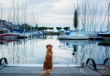 Dog At The Marina, Yacht Club....