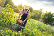 Satisfied Farmer Loading Potatoes In Wheelbarrow
