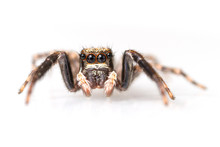 Close-up Of A Jumping Spider I...