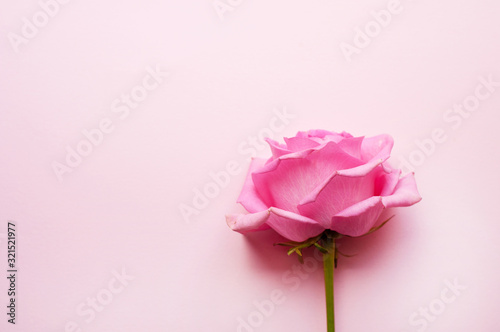 Fotomural One pink rose on a pink background. Valentine's Day