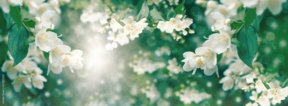 Fototapeta Beautiful jasmine flower flowering (blooming),  beautiful scent of the flower spreads through the air